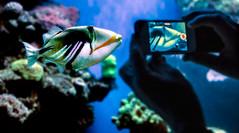 The lagoon triggerfish (betinafrey) Tags: rhinecanthus aculeatus lagoon triggerfish blackbar picasso picassofish fish aqua jamal humuhumunukunukupuaa mallorca fisk akvarie