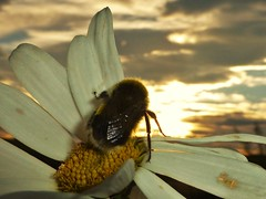 Watching the Sunrise..x (lisa@lethen) Tags: bee sunrise flower insect nature wildlife weather cloud sun sky outdoor