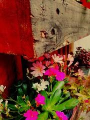 Pour le plaisir (regardici1) Tags: jardin campagne t couleurs fleurs