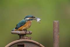 Kingfisher (Alcedo atthis) (phil winter) Tags: kingfisher alcedoatthis fish perched
