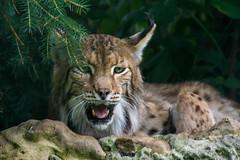noch ein wenig mde (grasso.gino) Tags: tiere animals natur nature nikon d5200 katze cat luchs lynx ghnen yawning