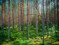 pine (miemo) Tags: repovedenkansallispuisto repovesi arch bent em5mkii europe finland forest kouvola nationalpark nature olympus olympus1240mmf28 omd pinetree pines summer trees
