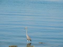 DSCN0261 (Dale_Wiley) Tags: water bluebird