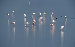 IMG_0040x (gzammarchi) Tags: italia paesaggio natura ferrara lidodispina parcodeltadelpo oasi vallesina lago animale fenicottero stormo explore flamingo italy