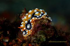 Orange Nudi (kayak_no1) Tags: nikon d800e nauticamhousing 105mmvr diopter ysd1 subsee10 underwater underwaterphotography macro supermacro diving scubadiving uw lembehstrait indonesia nudibranch
