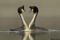 Australian Crested Grebe (Podiceps cristatus australis) (mikullashbee) Tags: australiancrestedgrebe waterfowl newzealand lakeclearwater puteketeke podiceps cristatus australis threatened species courtship pair bonding breeding