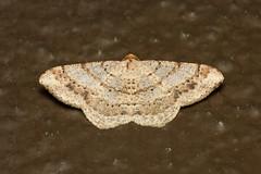 Geometridae sp. (Moth) - Costa Rica (Nick Dean1) Tags: geometridae moth insect insecta lepidoptera arthropoda arthropod hexapoda hexapod costarica guanacaste liberia canon canon7d macro