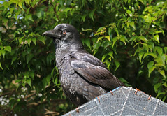 Immature Torresian Crow (Jenny Thynne) Tags: crow torresiancrow bird brisbane queensland australia corvid birds corvusorru immature nature wildlife