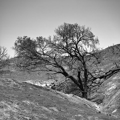 burnt. placerita canyon, ca. 2016. (eyetwist) Tags: eyetwistkevinballuff eyetwist tree burnt burned sandfire losangeles placeritacanyon bw mamiya 6mf 75mm mamiya6mf mamiya75mmf35l rolleiortho25 rollei ortho 25 orthochromatic ishootfilm analog analogue film emulsion mamiya6 square 6x6 mediumformat 120 filmexif iconla recentlyprocessedfilm epsonv750pro lenstagger blackwhite black white monochrome angeleno la socal california field los angeles santaclarita sangabrielmountains placeritya canyon sand forest fire wildfire trees crispy charred blackened charcoal moonscape inferno landscape hillside disaster devastation branches dead newhall canyoncountry