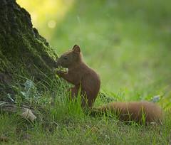 Eating by a tree (hedera.baltica) Tags: squirrel redsquirrel eurasianredsquirrel wiewirka wiewirkapospolita sciurusvulgaris