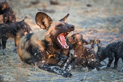 Chitabe-32 (Photography by Brian Lauer) Tags: wild dog dogs wildlife wilderness nikon nikonphotography explore more elephant elephants saddlebilledstork lions lion landscape african zebra lilacbreastedroller chitabe lediba wearewilderness safaris botswana