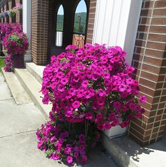 All Things Bright and Beautiful, Each Creature Great And Small, The Lord God Made Them All  ... (~ Cindy~) Tags: trentonstreetbaptistchurch harriman tennessee sanctuaryentrance floral flowers petunias may72016 explore