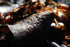 Seaweed (laurelpattee) Tags: newport yaquina beach bumpy seaweed algae texture