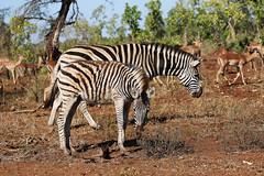 Mother and baby (crafty1tutu (Ann)) Tags: travel holiday 2016 southafrica africa pilanesberggamepark pilanesberg animal zebra mother baby free wild roamingfree inthewild crafty1tutu canon5dmkiii ef100400mmf4556lisiiusm anncameron naturescarousel