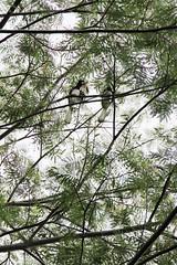 IMG_0457 (trevor.patt) Tags: palauubin singapore island hornbill bird