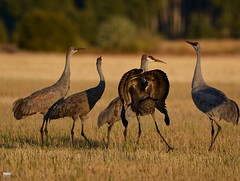 September 14th 2016 (cintia scola) Tags: nikond7100 sigma600mmvr cintiascola idaho sandhillcranes elks elkfight wildlife wilderness summer2016