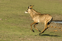 Roan Antelope - Hippotragus equinus (lyn.f) Tags: roanantelope hippotragusequinus chobenationalpark botswana
