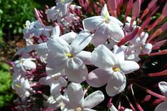 Jasmine (dgardenia) Tags: rose flower macro outdoor garden nature springbulbs insect bee jasmine iris camellia ranunculus potplant