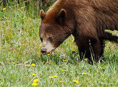 Black Bear  8273 (Bonnieg2010) Tags: blackbear browncolor bear wild nature animal watertonnationalpark waterton alberta bonniegrzesiak dandelions eatingdandelions