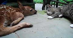 Baby deer and baby kitten in love via http://ift.tt/29KELz0 (dozhub) Tags: cat kitty kitten cute funny aww adorable cats