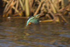 Kingfisher in flight (Keith M 82) Tags: approved
