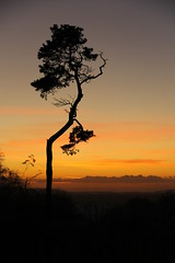 Bring Back an Oldie - 8 Dec 2012 - My favourite tree at sunset (Gareth Wonfor (TempusVolat)) Tags: pine tree twisted sunset yatton cadbury hill gareth mrmorodo tempusvolat tempus volat canon eos 60d somerset dslr canoneos canon60d eos60d digitalslr digital cadburyhill canoneos60d slr geotagged garethw garethwonfor mr morodo wonfor