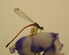 Libélula (Ricardo Venerando) Tags: life park macro nature brasil insect natureza olympus bugs explore abc discovery soe naturesfinest conservacion nationalgeografic platinumphoto abcpaulista diamondclassphotographer ysplix grandeabc goldstaraward ricardovenerando