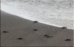 Guatemala - Monterrico (Galeon Fotografia) Tags: naturaleza beach nature strand turtle guatemala natur playa tortuga plage tartaruga tortue schildkrte  monterrico  volcanicashes  cenizavolcnica cendresvolcaniques vulkanischeasche  cinzasvulcnicas galeonfotografa