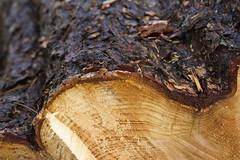 Tree Chopped (Rovers number 9) Tags: wood england tree december minolta sony dec lancashire 2012 a65 sonya65