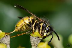 Side on Autumn Wasp (Daryl_Porter) Tags: people macro green other nikon wasp wildlife side flash dp 105mm nikkor105mmf28gvrmicro darylporter ©daryleporter daryleportercom