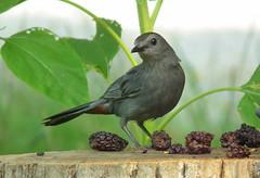 Aha!   That's Where I Left My Blackberry (vtpeacenik) Tags: bird vermont july graycatbird