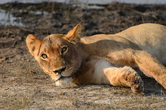 """Lioness in Chobe National Park, Botswana • <a style=""""font-size:0.8em;"""" href=""""https://www.flickr.com/photos/21540187@N07/8294338938/"""" target=""""_blank"""">View on Flickr</a>"""
