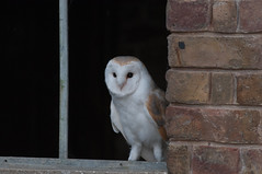 Barn Owl (Tyto alba) Explore 21st Dec # 485 (Col-page) Tags:
