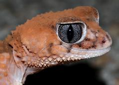 Banded Knob-tailed Gecko (Nephrurus wheeleri) (cowyeow) Tags: road cute nature bigeyes eyes highway funny nocturnal desert reptile lizard wa gecko herp herpetology bigeye banded wheeleri herping knobtailedgecko knobtailed nephrurus