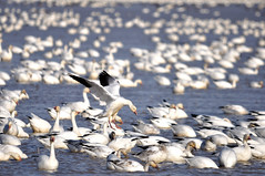 Dreaming of a white Christmas (champbass2) Tags: california northerncalifornia snowdrops migratory snowgeese droppingin pacificflyway snowgeeseinflight floodedricefields californiaagriculture champbass2 wintermigration foraginggeese