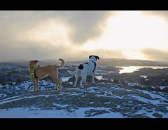 Favorite dogs`.Favorite place (~Ranveig Marie~) Tags: schnee winter light sea sky pets sun sunlight mountain snow cute dogs nature weather norway clouds landscape island evening coast norge vinter view hiking walk horizon nieve natur norwegen himmel canine hike norwegian tur hund noruega hybrid lys doggies mixedbreed utsikt hordaland offleash fjell sn sne naturewalk kveld norsk bmlo hunder unleashed sunnhordland crossbreed colliecross domesticanimal sneeu fottur romjul explored vr husdyr mland bordercolliebeaglemix storsta storemlandsta storemlandsto storsto mlandsto mlandsta bordercolliebeaglecross borderbeagle