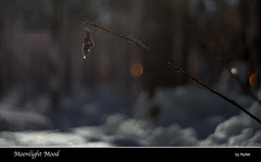 Moonlight Mood (Nyllet) Tags: winter snow forest leaf bokeh twig moonlight kmzjupiter85020