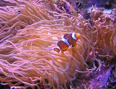 Clownfish & Anemone (mudder_bbc) Tags: fish connecticut newengland clownfish anemone mystic symbiotic seaanemone aquariums symbiosis mysticaquarium