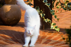 White Cat ( Luiz Matta ) Tags: animal branco cat gatos gato bichos bicho preguica gatobranco