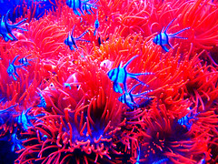 26 (kikkakiz89) Tags: fish animals aquarium genova pesci anemones acquario animali anemoni