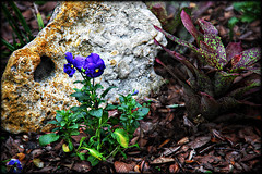 The Color Purple (Chris C. Crowley) Tags: plants flower nature floral rock stone garden botanical purpleflower thecolorpurple sugarmillgardens chriscrowley celticsong22 rememberingtigger