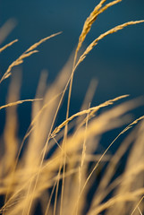 grass by the sea [explore] (Karsten Hansen) Tags: sea plants reed nature netherlands grass explore gras ameland paysbas niederlande tamron70300 ballum explored pentaxk10d karstenhansen pentaxart