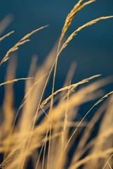 grass by the sea [explore] (Karsten Hansen) Tags: sea plants reed nature netherlands grass explore gras ameland paysbas niederlande tamron70300 ballum explored pentaxk10d karstenhansen pentaxart