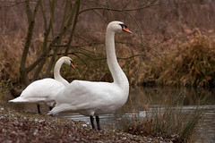 Cygnes (J.Elisa.68) Tags: france bird canon swan cygnes ried eos450d oiseauxmigrateurs plainedalsace artzenheim ichert