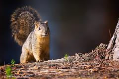 Squirrel Greeter (Patricia Ware) Tags: california canon squirrel ngc handheld anaheim yorbaregionalpark allrightsreserved specanimal blinkagain patriciaware
