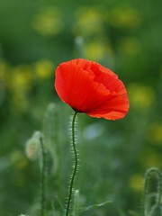 Intense et phmre ** (Titole) Tags: red rouge poppy coquelicot friendlychallenges