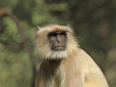 Gray langur (Semnopithecus entellus) (Raghuvir solanki) Tags: 20113 allofnatureswildlifelevel1 allofnatureswildlifelevel2