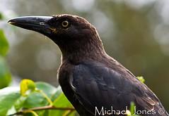 Currawong (Canon-Kid) Tags: bird beak currawong