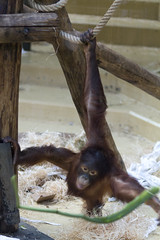 Ouwehands Dierenpark - orang oetan-2576 (Quistnix!) Tags: netherlands zoo nederland rhenen ouwehands dierenpark orangoetan 2013 dierenparkouwehands ouwehandszoo