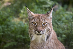 Eurasian Lynx (Trine K Photography) Tags: blue red summer portrait white detail macro green art nature animal animals norway closeup contrast cat canon sweden hiking wildlife lanscape wildlifephotographer naturecloseup canonef70200mmf28lusm wildlifephotography animalcloseup canon70d trinek trinekphotography